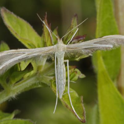 Merrifieldia leucodactyla