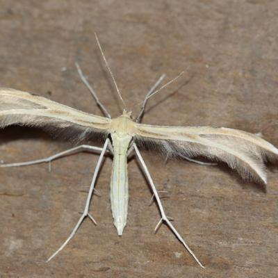 Merrifieldia baliodactylus