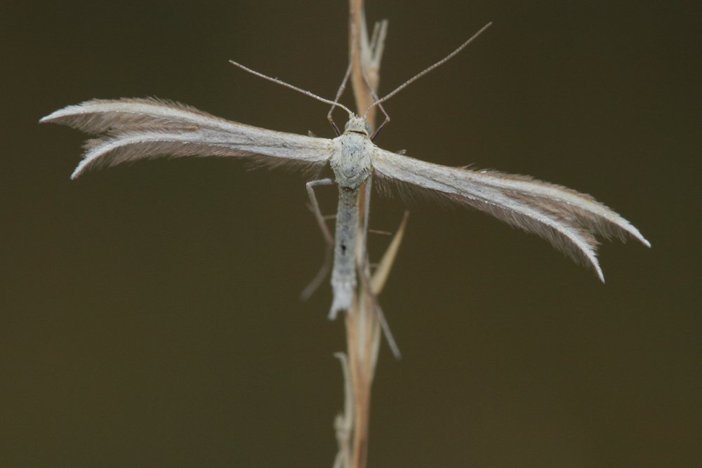 Le Ptérophore tetradactyle (Merrifieldia tridactyla)
