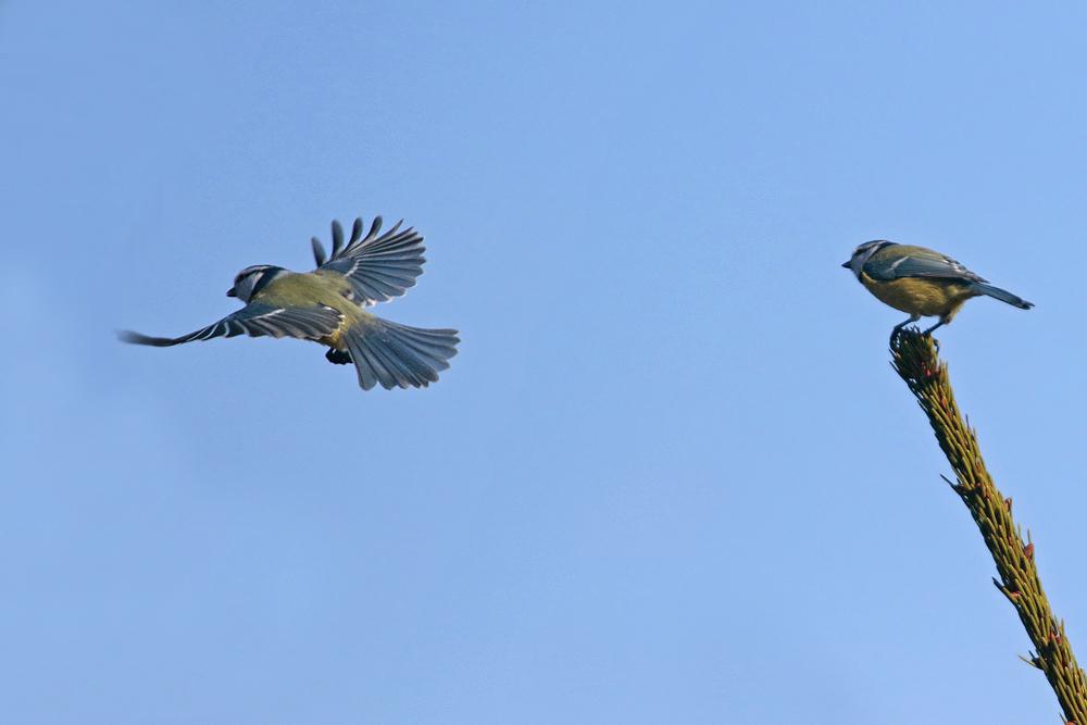 Mésanges bleues (Cyanistes caeruleus)