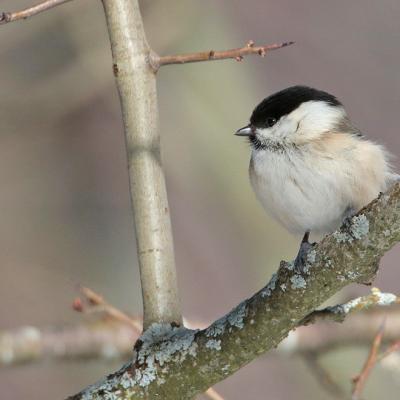 Mésange boréale (Poecile montanus)