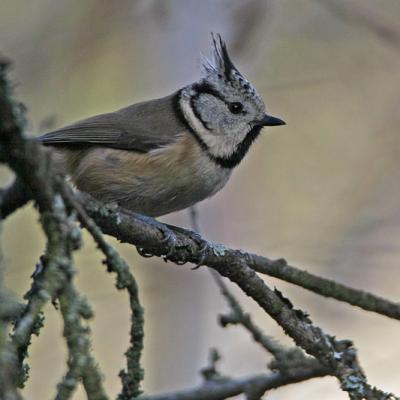 Mésange huppée (Lophophanes cristatus)