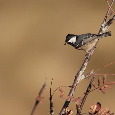 Mésange noire (Periparus ater)