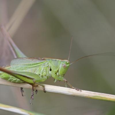 Decticelle bicolore (Bicolorama bicolor) mâle