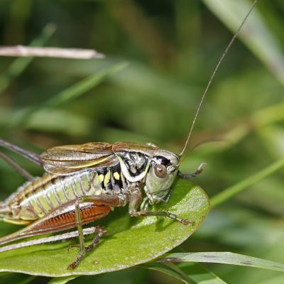 Decticelle bariolée (Metrioptera roeselii)