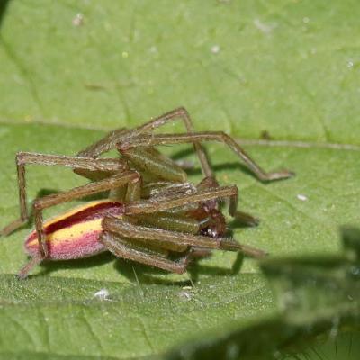 Micrommate émeraude (Micrommata virescens) male