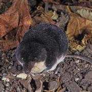 Crossope (musaraigne) aquatique (Neomys fodiens)