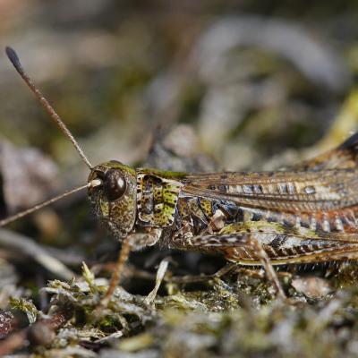 Criquet tacheté (Mymeleotettix maculatus)