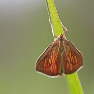 Le Botys des laiches (Nascia cilialis)