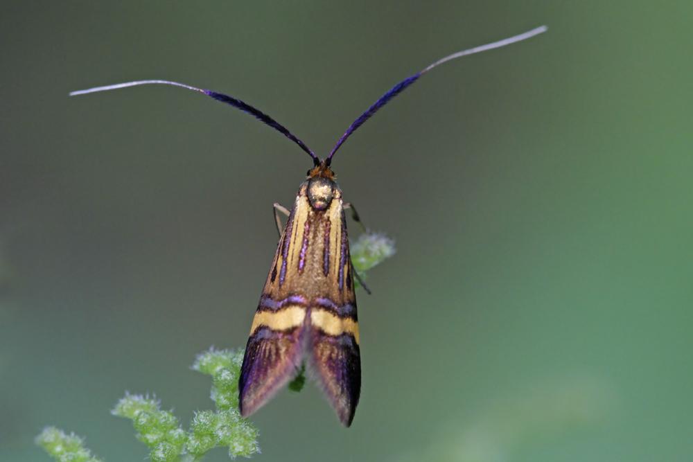 La Coquille d'or (Nemophora degeerella)