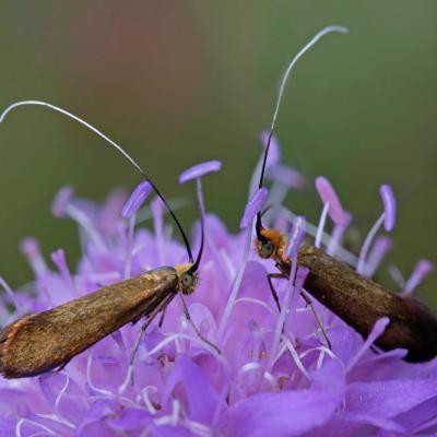 L' Adèle de la scabieuse (Nemophora metallica)