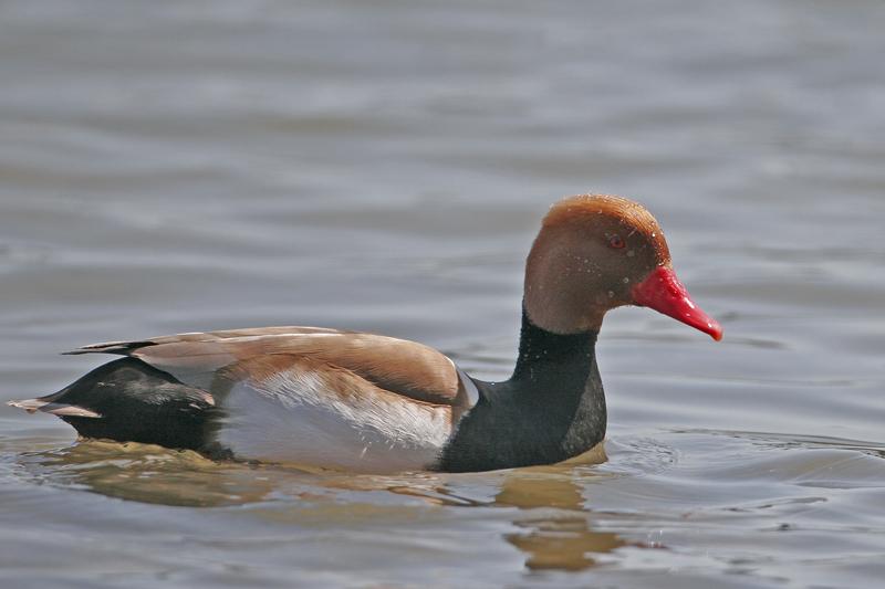 Nette rousse mâle (Netta rufina)