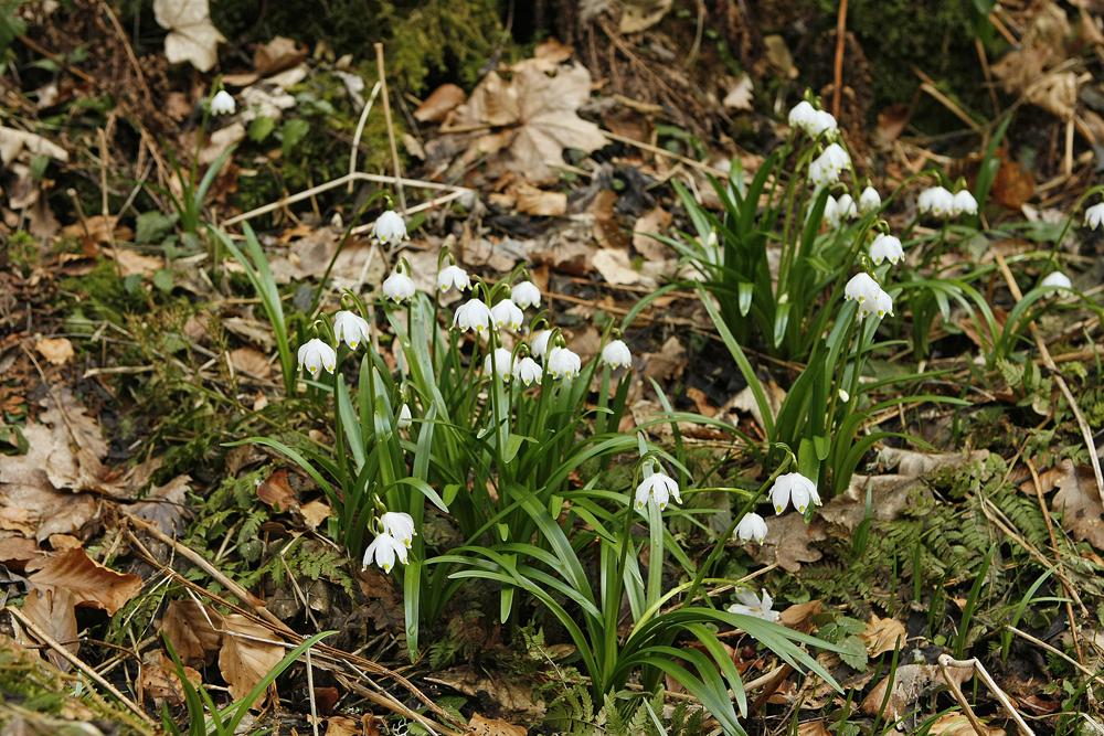 Nivéole de printemps (Leucojum  vernum)