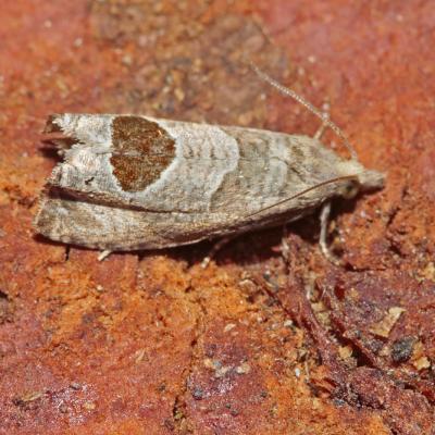 La Tordeuse de Solander (Notocelia uddmanniana)