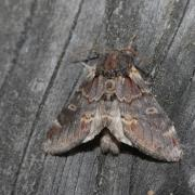 Le Chameau (Notodonta dromedarius)