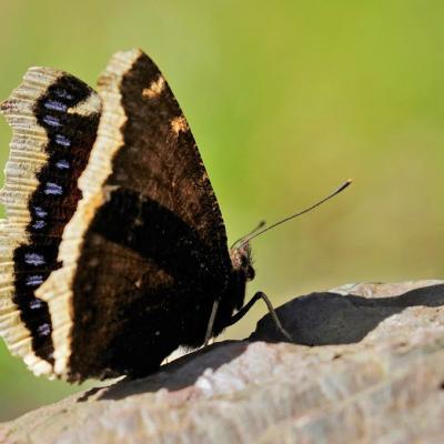 Le Morio (Nymphalis antiopa)