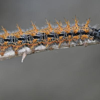 Chenilles de papillons de jour (Rhopalocères)
