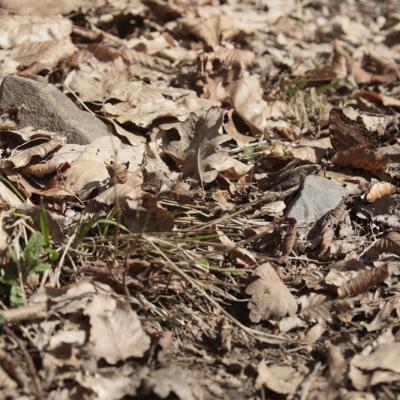 La Grande tortue (Nymphalis polychloros)