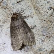 Le Bipoint ou Colon  (Ochropacha duplaris)