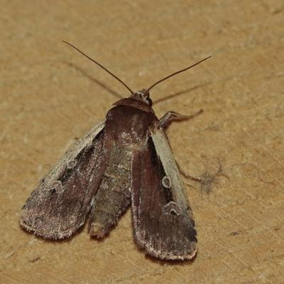 Le Cordon blanc (Ochropleura plecta)