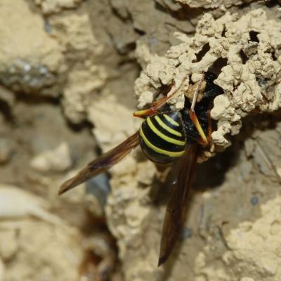 Odynère (Odynerus spinipes)