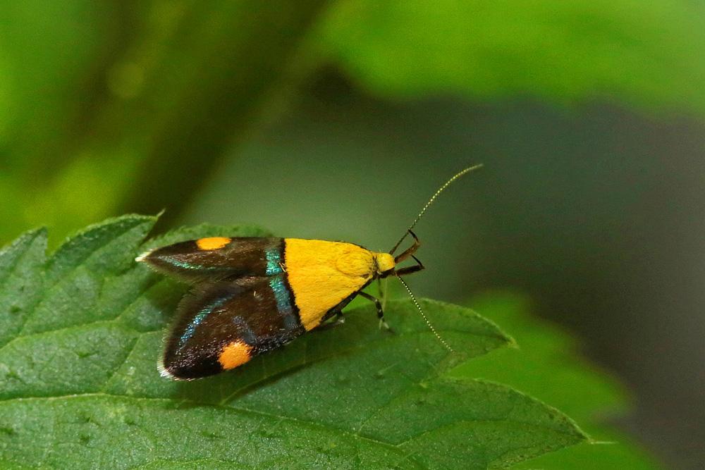 Le Lampos interrompu (Oecophora bractella)