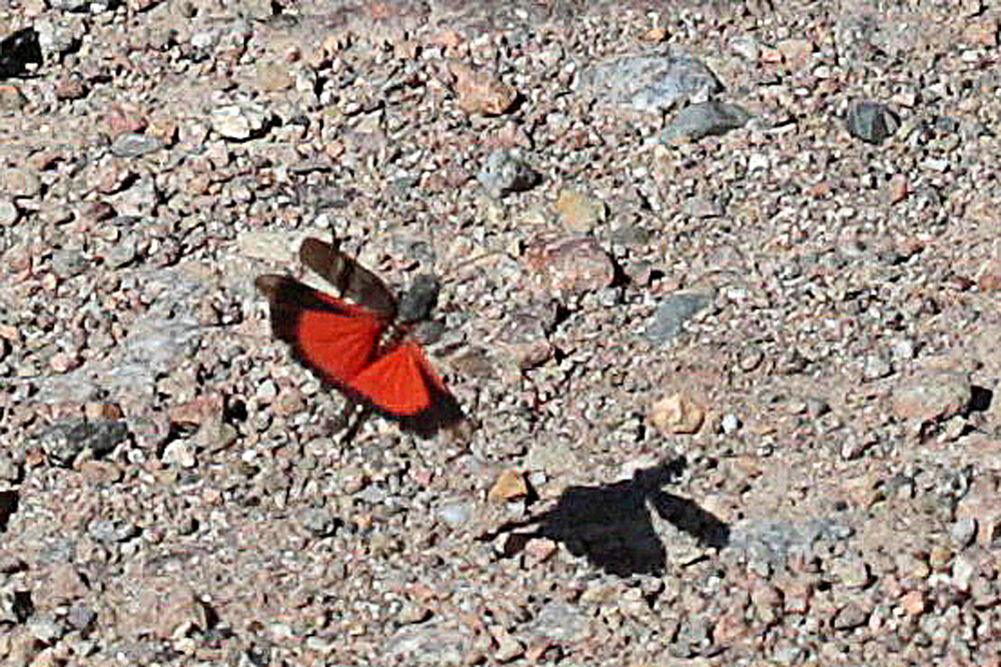 Oedipode rouge (Oedipoda germanica)