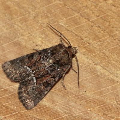Noctuelle de la canche (Oligia fasciuncula)