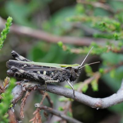 Criquet noir ébène (Omocestus rufipes) femelle