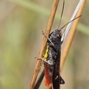 Criquet noir ébène (Omocestus rufipes) mâle