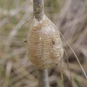 Mante religieuse (Mantis religiosa) Oothèque