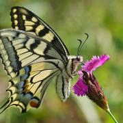 Le Machaon (Papilio machaon)