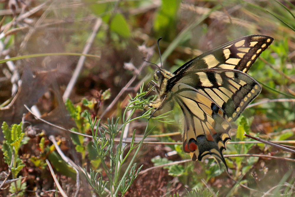 Le Machaon (Papilio machaon) femelle en ponte.