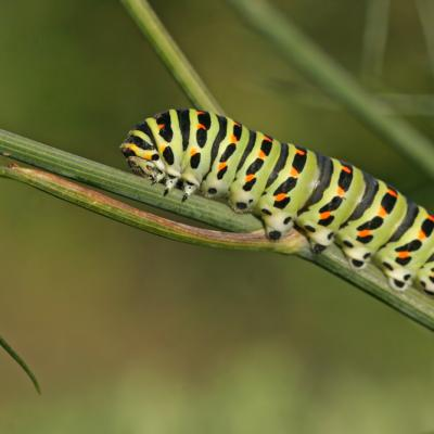 Le Machaon (Papillio machaon)