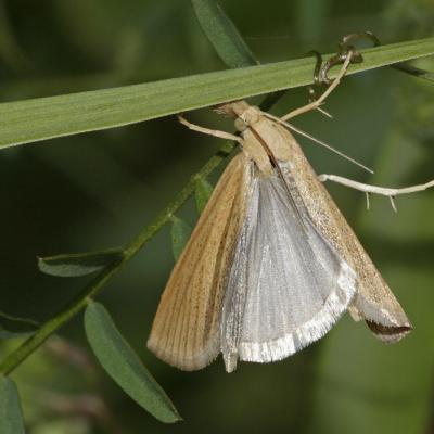 Le Crambus jaunâtre (Pediasia luteella)