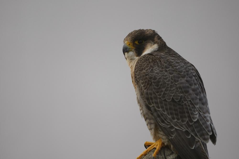 Faucon pélerin (Falco peregrinus) immature.
