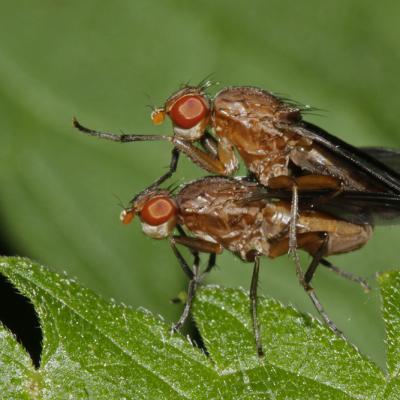 Pelidnoptera leptiformis  couple.