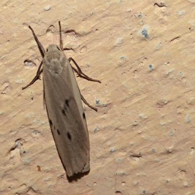 La Lithosie crotte souris (Pelosia muscerda)
