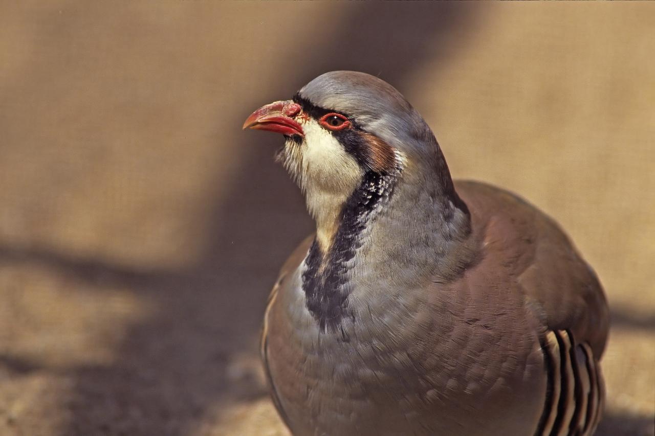 Perdrix rouge (Alecctoris rufa)