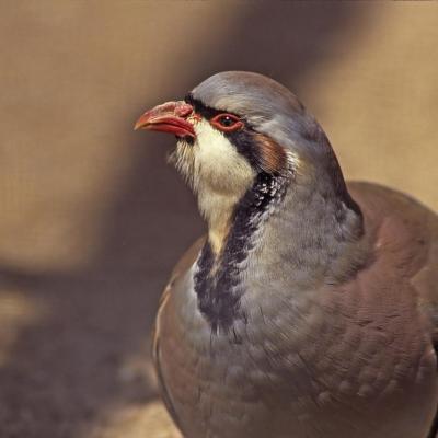 Perdrix rouge (Alectoris rufa)