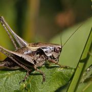Decticelle cendrée (Pholidoptera griseoaptera) mâle
