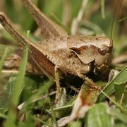 Decticelle cendrée (Pholidoptera griseoaptera) femelle
