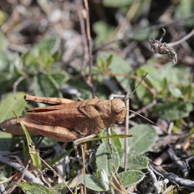 Oedipode stridulante (Psophus stridulus) femelle