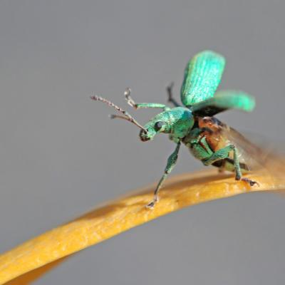Charançon de l'ortie (Phyllobius pomaceus)
