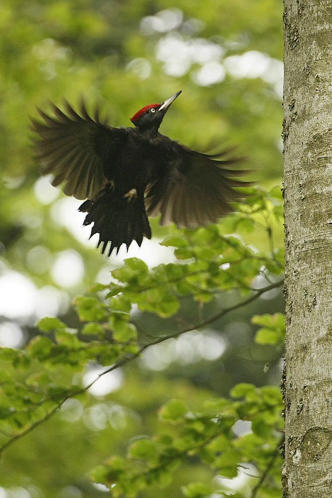 Pic noir (Dryocopus martius)