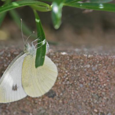 La Piéride de l'Ibéride (Pieris mannii)
