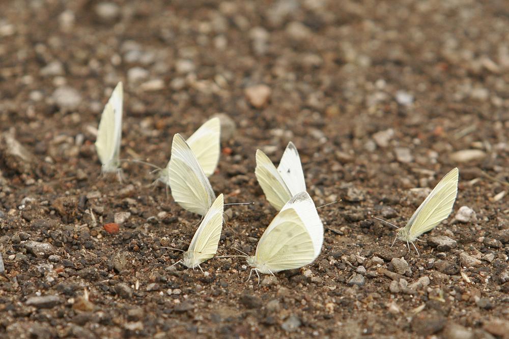 Pieride de la rave (Pieris rapae)