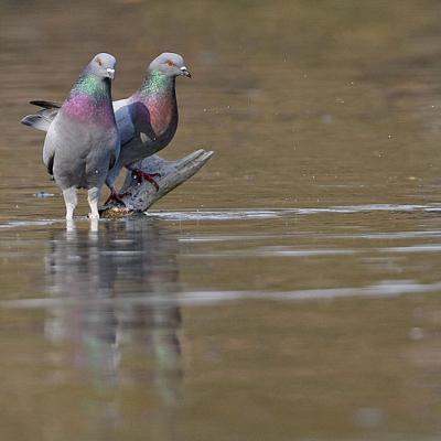 Pigeon biset  (Columbia livia)