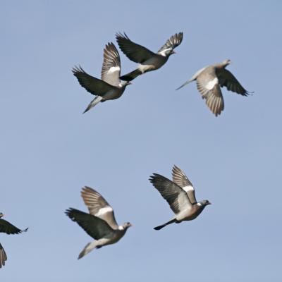 Pigeon ramier (Columba palumbus)