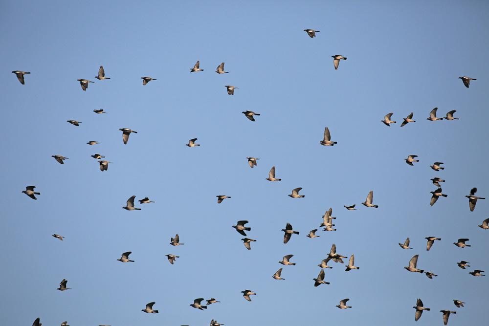 Pigeons ramiers vol (Columba palumbus)